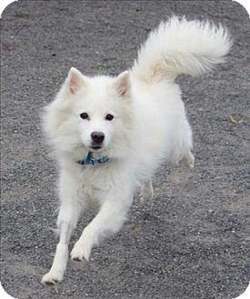 Quakertown, PA - American Eskimo Dog/Spitz (Unknown Type