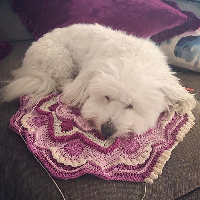 Woofie tycker att Matte ska ta en paus från virkningen o gosa med honom istället! 🐶💕 #mandalamadness #crochet #virkat #virkning #virka #hund #dog #cotondetulear #bautawitch