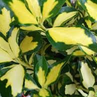 Euonymus Gold Queen (9cm Pot)