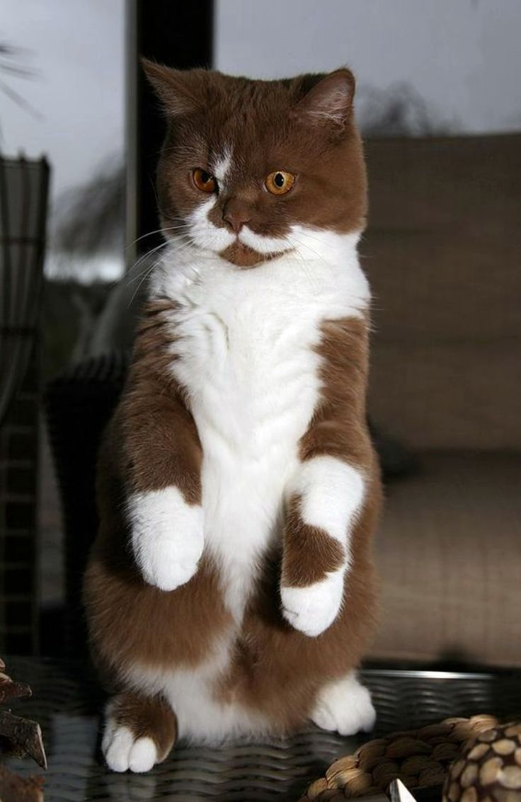"If I had this cat, I would definitely name him Cadbury. Not only is he chocolate and milk, he appears to have a British demeanor. All he needs is a monocle.  ""I say, sir!  The very idea!"""