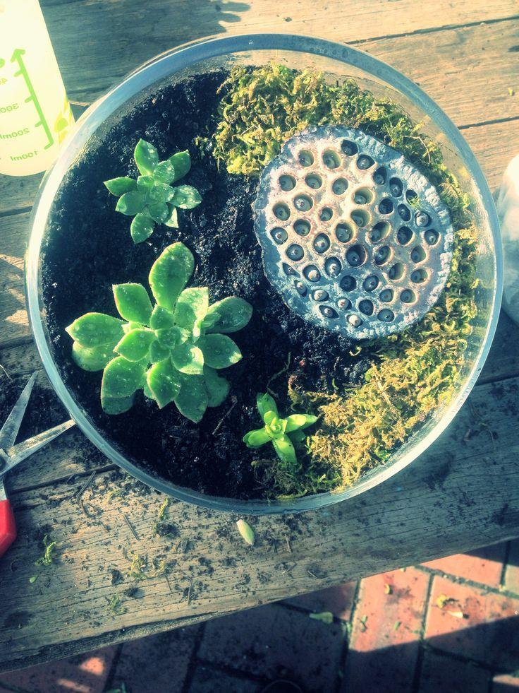 Terrarium with Lotus Pod