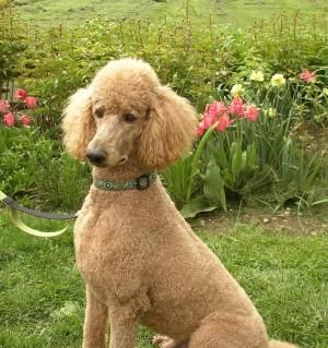 """Drake """"Mithril Autumn Shades Dabbling Drake"""", father to my girls soon to be born puppies! Isn't he handsome? by jaime"""