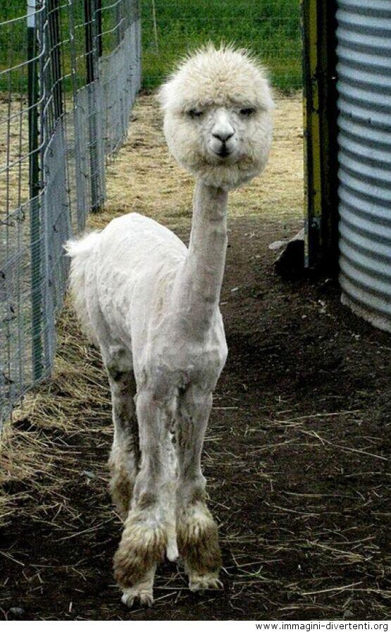 Un alpaca rasato di fresco, immagini divertenti