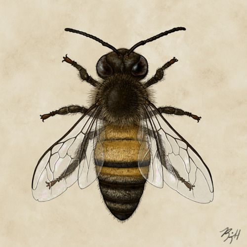 Western honey bee Apis mellifera