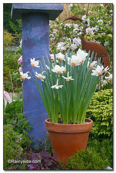 Growing Daffodils in Containers -- There are so many ways you can present these springtime charmers.: Flowers Gardens, Favorite Flowers, Flowers Pots, House,  Flowerpot