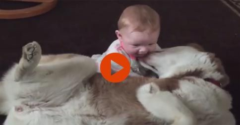 iberian Husky playing gently with 7-month-old baby #Funny#Cute#Dogs#Baby#Adorable#Animals