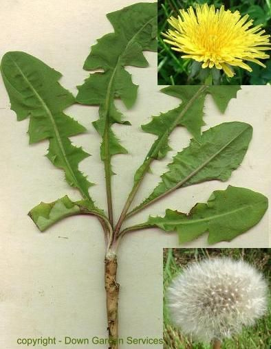 Earth Mountain View sub-site- Website to identify edible weeds and their uses.