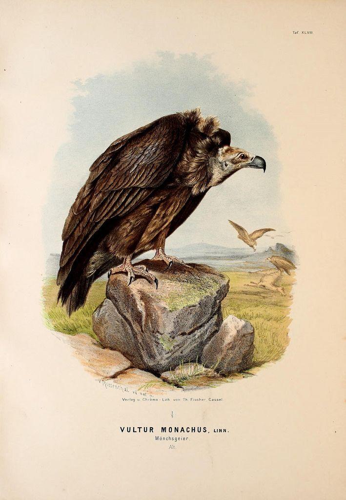 Die Raubvögel Deutschlands und des angrenzenden Mitteleuropas;. Cassel [Germany]Verlag von Theodor Fischer,1876.. biodiversitylibrary.org/page/47850792