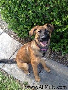 Nala the German Shepherd Dog Mastiff Dog Mix    CUTE!!!