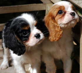 cavalier sweetness I want one of these or a doxie for our next dog!!!