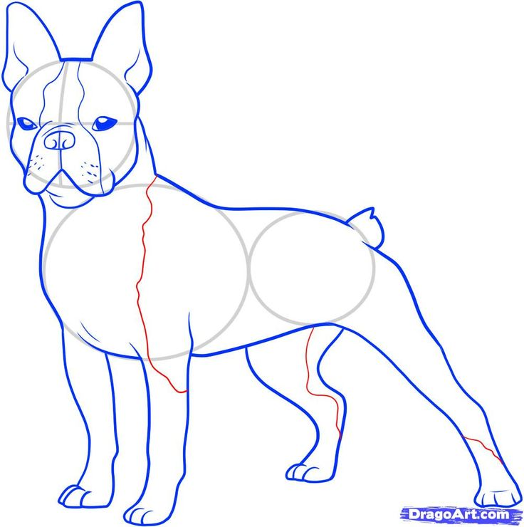 how to draw a boston terrier step 10