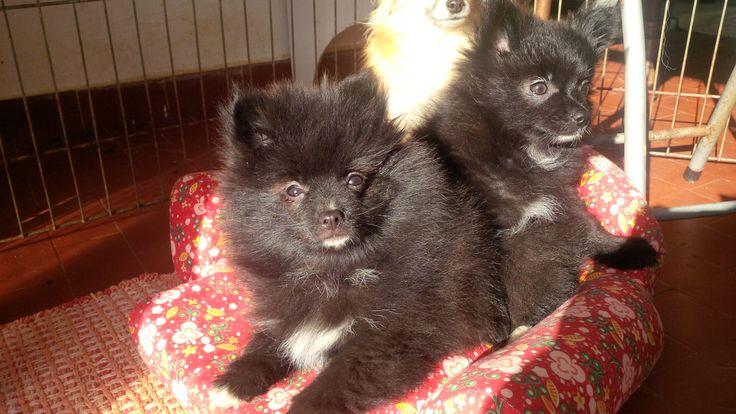 #spitznano #pomeranian #PomeranianPuppies #blackpomeranian #whitepomeranian #lupilandia