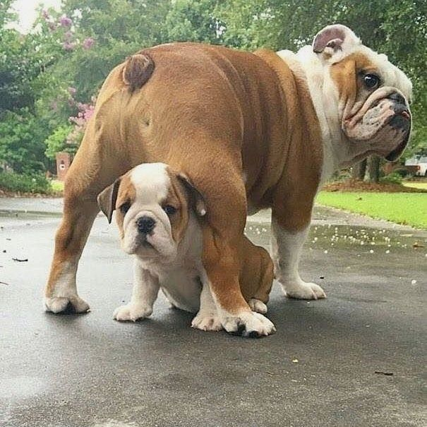 """145 Beğenme, 2 Yorum - Instagram'da Tony Bulldog (@bulldog.tonny): """"Poster by @Instagram Mommy with hẻ Son :D Double Tap and tag a friend below :D Bulldog * * * Tag…"""""""