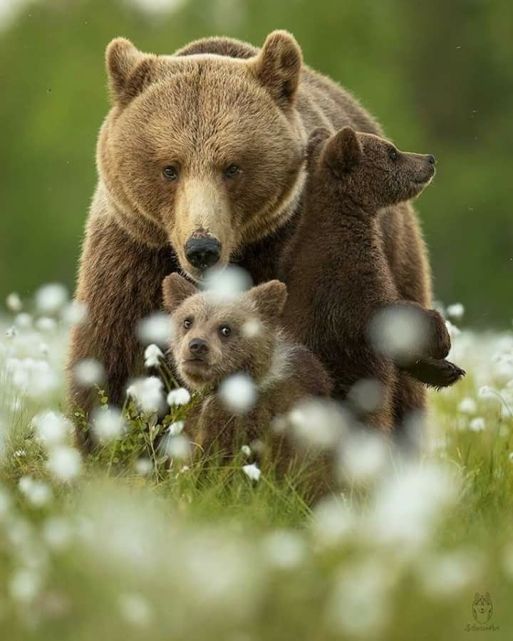 Bear with babies family / animal photography pictures #bears