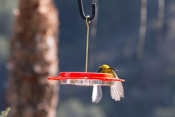 The Story of the Backlit Hooded Oriole