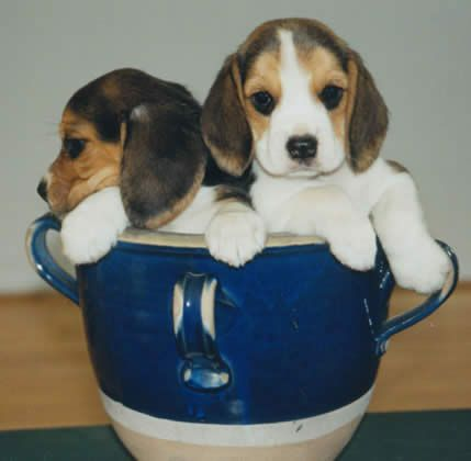Teacup Beagles are one of the most adorable teacup breeds around! find more about taking care of them, breeders and more!