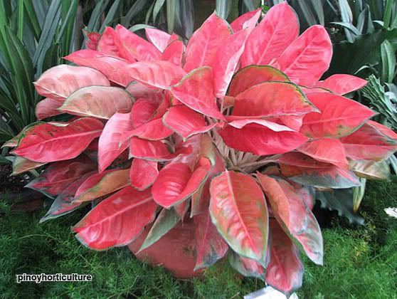 Aglaonema 'Super Red' | BLOMSTER | Plants, House Plants ...
