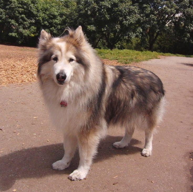husky collie