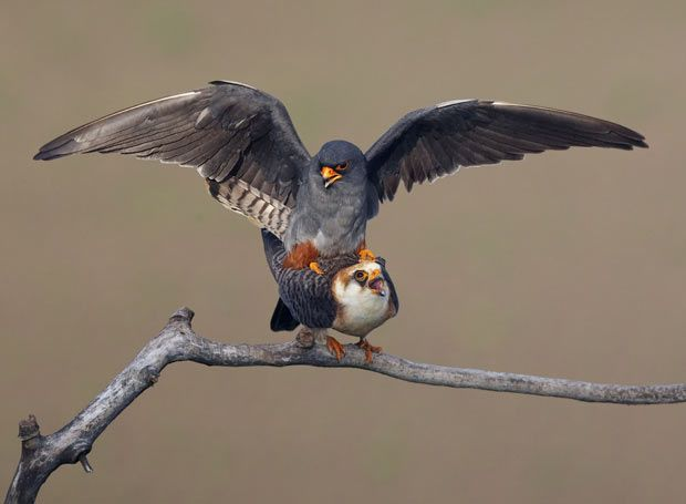 Red-footed falcon (Falco vespertinus) mating pair, Hortobagy NP, Hungary  Picture: Markus Varesvuo / Rex Features
