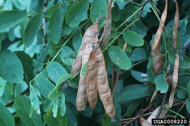Black Locust - Robinia pseudoacacia