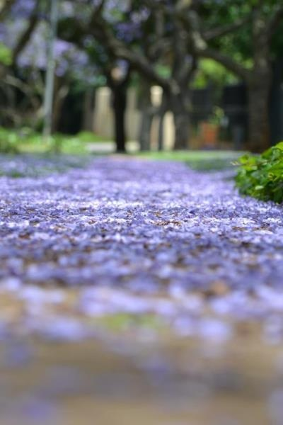 Jacarandas in full bloom Pretoria