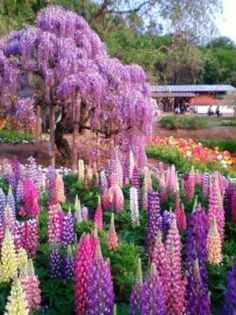 Lupines Wisteria, Parks Japan