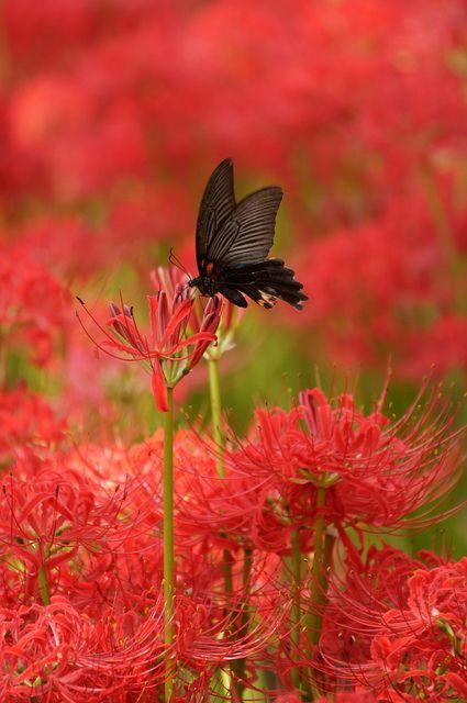 黒アゲハ蝶と彼岸花 (曼珠沙華) Swallowtail and Cluster Amaryllis by Tarox1234  on flickr