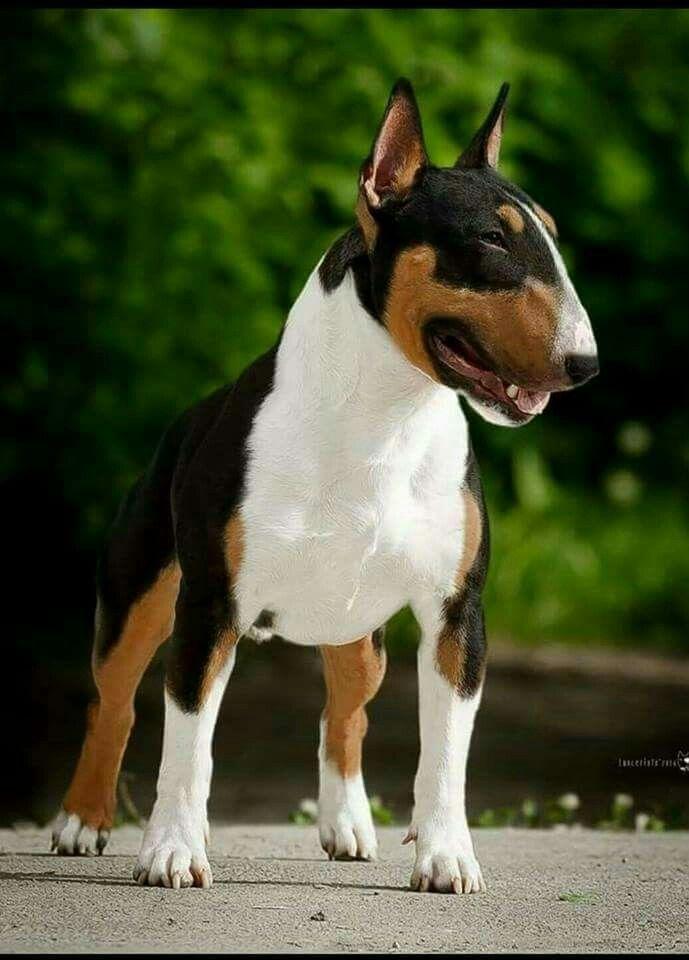 Tri-color Bull Terrier