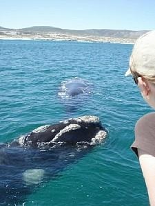 Whale watching in Hermanus. BelAfrique - Your Personal Travel Planner - www.belafrique.com
