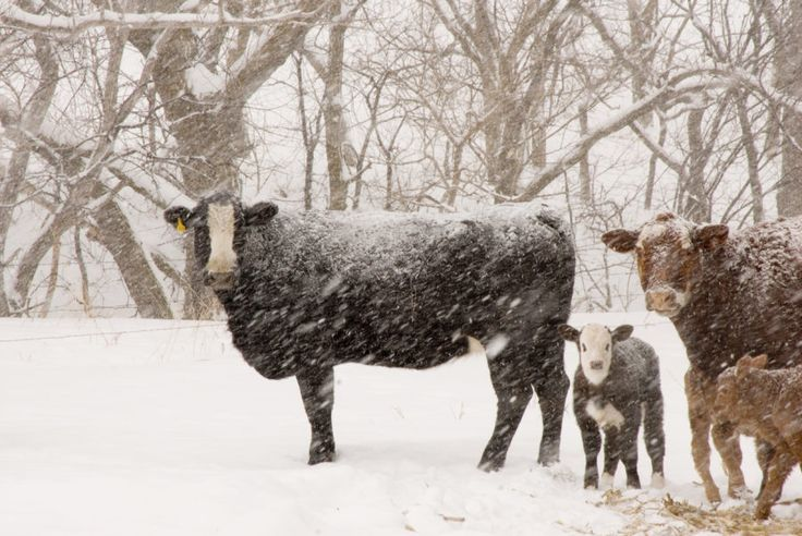 30000 Cows Freeze to Death Again in Misleading Meme Circulating Social Media