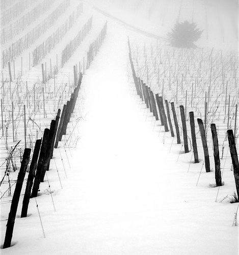 Vineyard in Gavi - Piedmont, Italy by Gavi   Flickr - Photo Sharing!