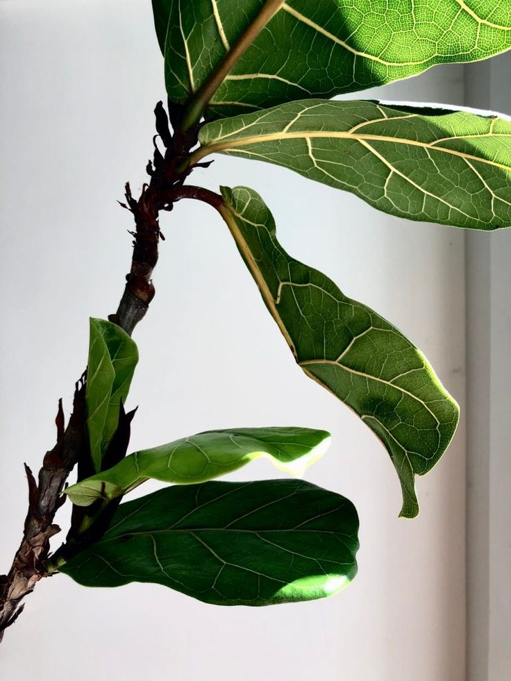 Fiddle Leaf Fig 5 Essential Tips to Care for Your Ficus