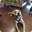 Westminster, MD - American Staffordshire Terrier/Labrador Retriever Mix. Meet Lexi Lady, a for adoption. http://www.adoptapet.com/pet/13884867-westminster-maryland-american-staffordshire-terrier-mix