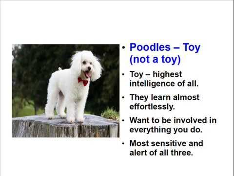More Facts about Poodles - I left some out