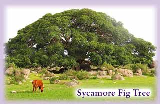 Ficus sycomorus (Sycamore fig) - Ficus sycomorus, called the sycamore fig or the fig-mulberry (because the leaves resemble those of the Mulberry), sycamore or sycomore, is a fig species that has been cultivated since ancient times. - Good climbing tree for children - Google Search