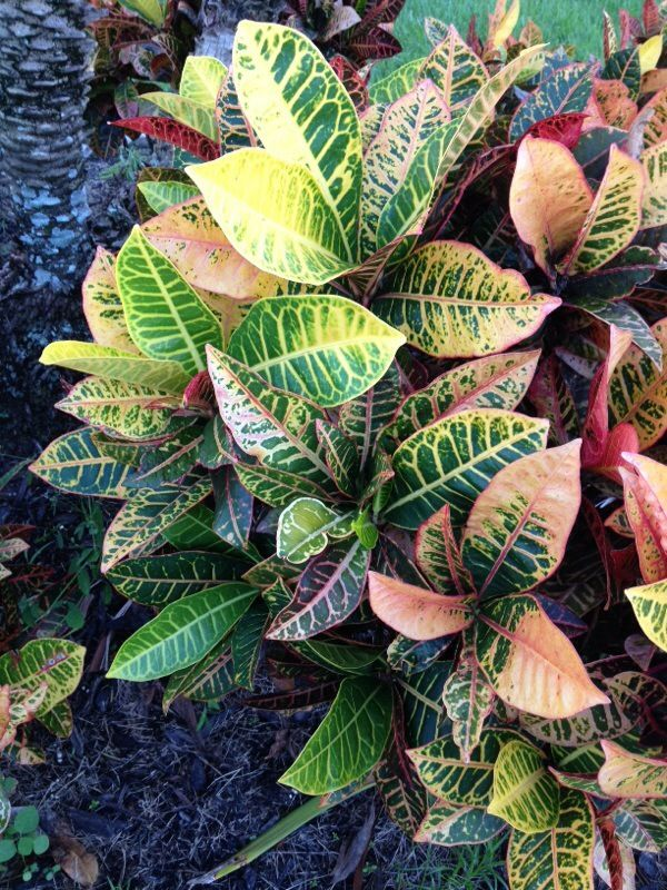 Croton In Florida Codiaeum Variegatum Known For Their Bold Tropical Foliage Crotons Are Perennial Evergreen Shrubs Not Only Can These Plants Be Grown