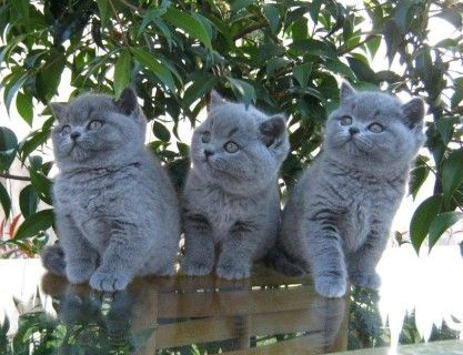 British Blue Shorthair Kittens - they're so adorable!  Cant wait for mine