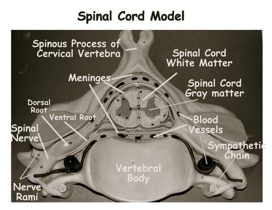 Spinal Cord Model: Dura Mater, Arachnoid Mater, Pia Mater ...