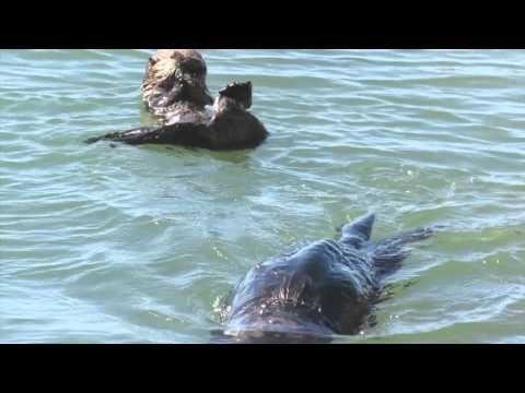 Mom Feeds Baby Sea Otter 2