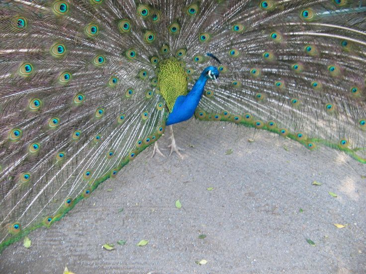 This Peacock was out at Red Rock N.S.W