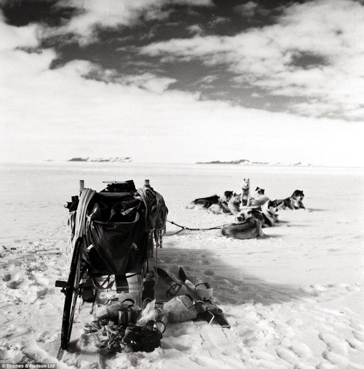 Dogs and sled from the Commonwealth Trans-Antarctic Expedition, 1957-1958.