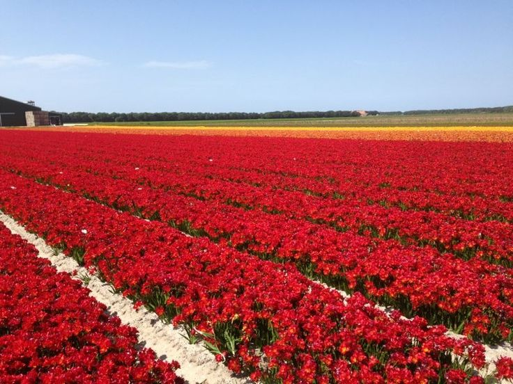 Field of flowering freesia 'Figaro'. July 2013.