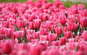 Image result for pink colour