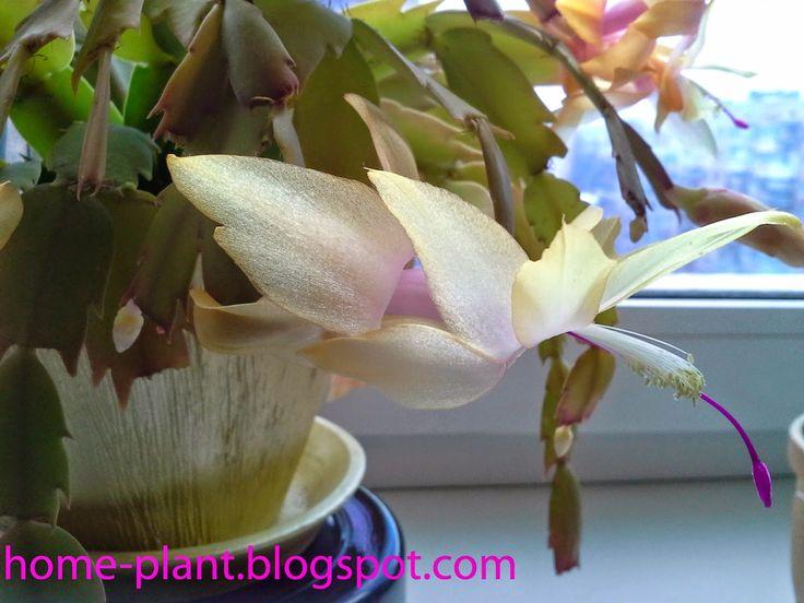 Комнатные растения для души и настроения: Рождественник (декабрист): уход за кактусом Schlum...