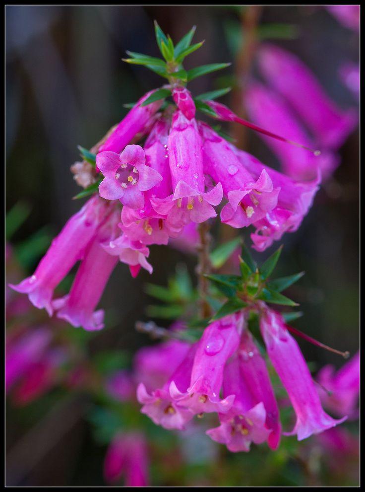 Epacris impressa Common Heath Unusual flowers