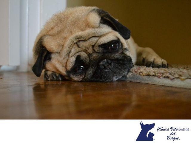 Si mi mascota no come ¿algo está mal? CLÍNICA VETERINARIA DEL BOSQUE. Cuando un perro o un gato no comen por dos días consecutivos, debes estar preocupado. Al retrasar el tratamiento, su mascota experimenta nuevas deficiencias nutricionales que pueden prolongar o complicar su recuperación. Los gatos, especialmente los que tienen sobrepeso y no comen también pueden desarrollar lipidosis hepática aguda potencialmente peligrosa. #cuidadodemascotas