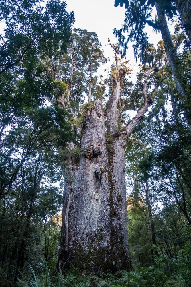 Te Matua Ngahere - How to visit the giant Kauri Trees in Waipoua Forest responsibly - New Zealand - Wandering the World
