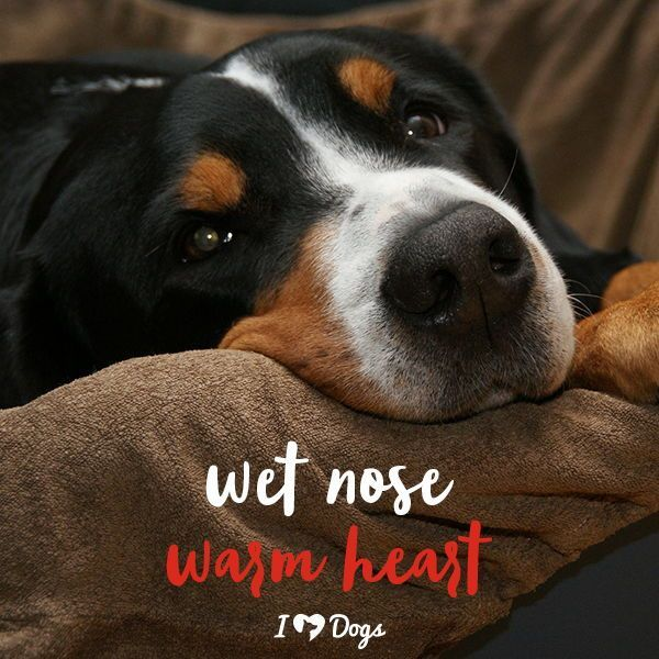 Wet Nose Warm Heart Dog Meme Dog Inspirational Dog Quotes Quotes About Dogs Dog Quotes Dog Quotes Funny Dog Memes