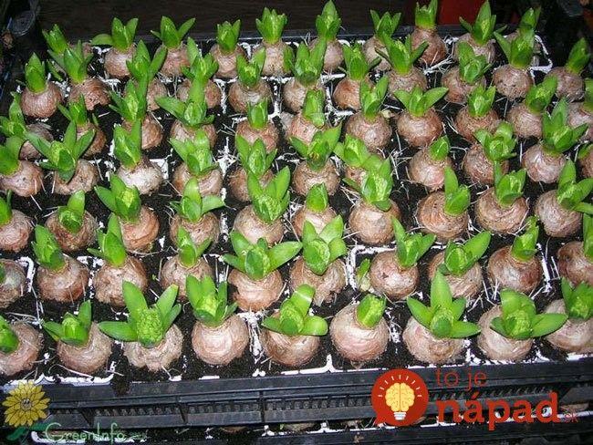 Geniálny nápad, ako vysadiť v októbri cibuľoviny tak, aby na jar nemali páru a kvitli omnoho dlhšie!