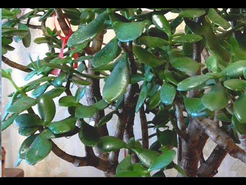 денежное дерево-ошибки при содержании зимой